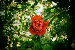 Underbar röd rosblomma Arkivfoto