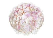 Underbar rosa vanlig hortensia Arkivfoto