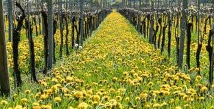 Underbar sikt av vingårdar i vår med gulingblommor och ändlösa rader av vinrankor royaltyfri fotografi