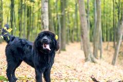 Underbar stående av den Newfoundland hunden i skogen arkivbilder