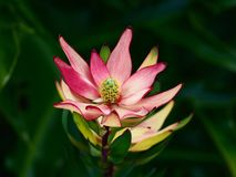 Underbar sublim dekorativ rosa Leucadendron i Closeup Royaltyfria Bilder