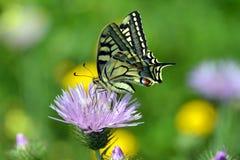 Underbar Tiger Swallowtail fjäril på rosa färgblomman Arkivbilder