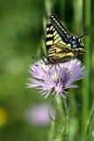 Underbar Tiger Swallowtail fjäril på rosa färgblomman Royaltyfri Bild