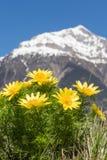 Underbar vårfasan` s synar - Adonis vernalis - med de schweiziska fjällängarna i bakgrunden royaltyfria foton
