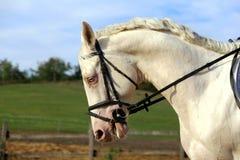 Underbar vit häst med unika blåa ögon Arkivbild