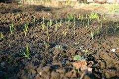 Underbara små plantor i jordning för härlig trädgård med gräs Royaltyfri Bild
