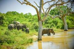 Underbara Sri Lanka elefanter arkivfoto