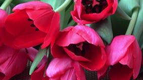 Underbara tulpan för röd vår på tabellen blommar nytt