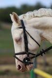 Underbart huvud för vit häst med unika blåa ögon Arkivbild