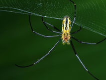 The Underbody of Lynx Spider resting on its web Royalty Free Stock Photo