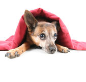 Undercover dog Royalty Free Stock Photo