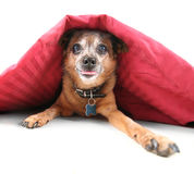 Undercover dog Royalty Free Stock Photos