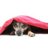 Undercover dog Stock Photo