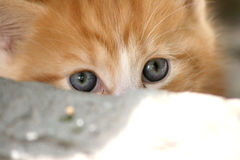 Undercover kitten Royalty Free Stock Images