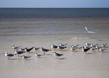 Undercover Seagulls? stock images