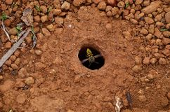 Free Underground Wasp Nest Stock Photography - 96048882