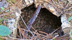 Underground wasp nest stock video
