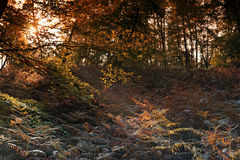 Undergrowth in Fontainebleau forest Royalty Free Stock Image