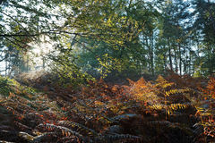 Undergrowth in Fontainebleau forest Royalty Free Stock Photo
