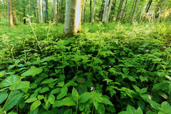 Undergrowth in forest. Green bushes and undergrowth in a forest Stock Photos