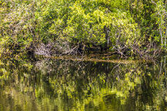 Undergrowth and roots of Mangrove Royalty Free Stock Photos