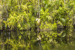 Undergrowth and roots of Mangrove Stock Image