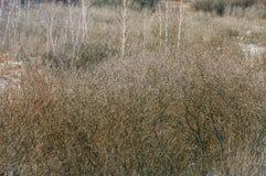 undergrowth Salgueiro na mola adiantada imagens de stock