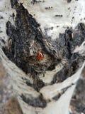 Underminera på ett asp- träd royaltyfri bild