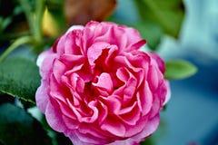 Underna av liv - en ros Royaltyfri Fotografi