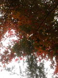 Underneath Japanese maple and juniper. Japanese maple leaves and juniper branch overhead royalty free stock images