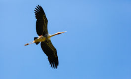 Underneath of Painted Stork (Mycteria leucocephala ) bird Stock Images