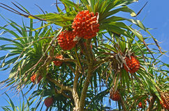 Pandanus tree Stock Image
