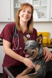 Undersökande hund för kvinnlig veterinär i kirurgi Arkivbild