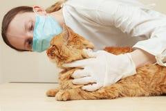 Undersökande tänder för veterinär av en röd katt, medan göra undersökning på arkivbilder