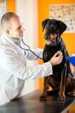 Undersökning med stetoskopet av den stora gjorda hunden i den resande veterinären Royaltyfri Foto