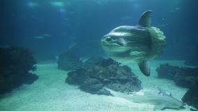 Underwater white shark. Undersea background with copy space. Front view of white shark swimming under blue ocean. Undersea marine life stock footage