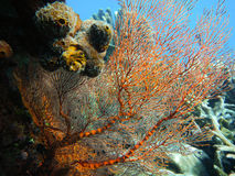 Undersea a beautiful orange gorgonian coral. Indonesia Royalty Free Stock Images