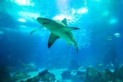 Underwater white shark. Undersea blue background. Bottom view of white shark in deep ocean. Undersea marine life Royalty Free Stock Image