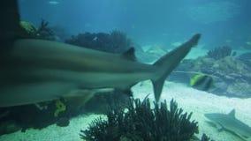Underwater white shark. Undersea blue background. Bottom view of white shark in deep ocean. Undersea marine life stock video footage