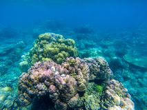 Undersea landscape with colorful coral reef. Tropical sea shore animal underwater photo. Seabottom perspective landscape. Undersea landscape with colorful coral royalty free stock photo
