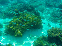 Undersea landscape with coral reef and blue coral fishes. Tropical sea lagoon with sea animals. Stock Photo