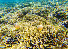 Undersea landscape. Coral reef and butterflyfish. Tropical fishes Butterfly in wild nature. Shallow sea water wildlife. Sea bottom with coral ecosystem Stock Image