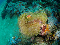 Undersea magnificent anemone with fish Stock Photo