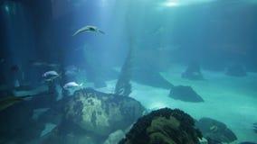 Undersea deep background. Undersea marine life. Underwater blue background with sunbeams. Manta Ray, shark and schools of fish cruises over the deep seafloor stock footage