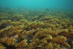 Undersea meadow of short brown seaweed Royalty Free Stock Photo