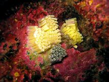 Undersea mollusk eggs. Close-up view of underwater mollusk eggs Royalty Free Stock Photo