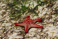 Undersea ocean wildlife, sea star fish. Underwater undersea sea and ocean wildlife, seastar lying on a sea wheet and sand beach. Star fish royalty free stock photo