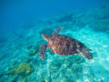 Undersea photo with tortoise. Sea turtle in wild nature. Stock Images