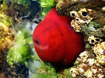 Undersea. A red animal under the sea with attractive stones Stock Photos