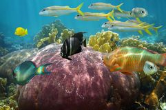 Undersea reef fish with beautiful coral. Colorful reef fish undersea with beautiful coral, Caribbean sea Stock Photography